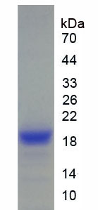 Recombinant Angiopoietin Like Protein 4 (ANGPTL4)