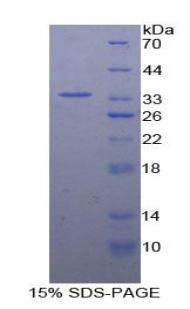 Recombinant Contactin Associated Protein 1 (CNTNAP1)