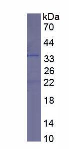 Recombinant Protein Tyrosine Phosphatase Receptor Type C (CD45)