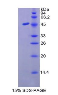 Recombinant Mucin 3 (MUC3)