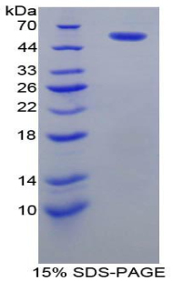 Recombinant Protein Disulfide Isomerase (PDI)