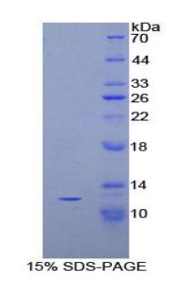 Recombinant Peptide YY (PYY)