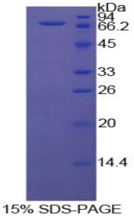 Recombinant Heat Shock 70kDa Protein 1A (HSPA1A)