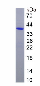 Recombinant Alkaline Phosphatase, Intestinal (ALPI)