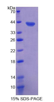 Recombinant Motility Related Protein (MRP1)