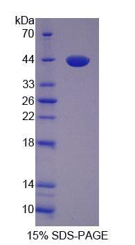 Recombinant VGF Nerve Growth Factor Inducible (VGF)