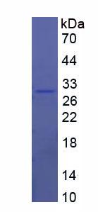 Recombinant Transferrin Receptor (TFR)