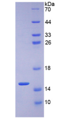 Recombinant Glucose Transporter 1 (GLUT1)