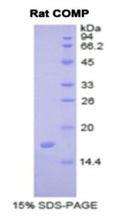 Recombinant Cartilage Oligomeric Matrix Protein (COMP)