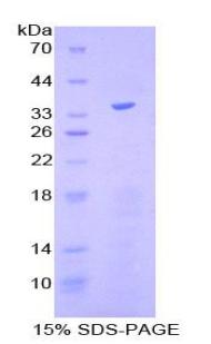 Recombinant Kruppel Like Factor 4, Gut (KLF4)