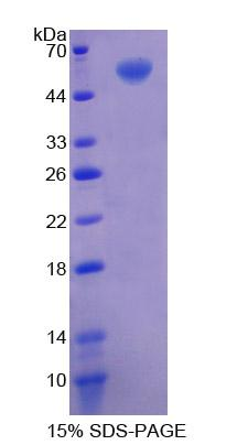 Recombinant Cluster Of Differentiation 73 (CD73)