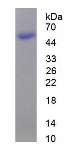 Recombinant Milk Fat Globule EGF Factor 8 (MFGE8)