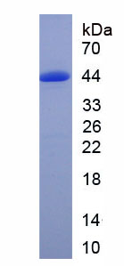 Recombinant Growth Associated Protein 43 (GAP43)
