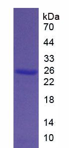 Recombinant Bcl2 Associated X Protein (Bax)