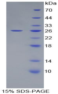 Recombinant Activating Transcription Factor 4 (ATF4)