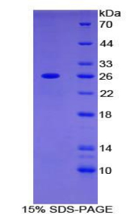 Recombinant Adenylate Cyclase 6 (ADCY6)