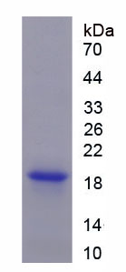 Recombinant Cluster Of Differentiation 99 (CD99)