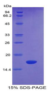 Recombinant Semaphorin 4D (SEMA4D)