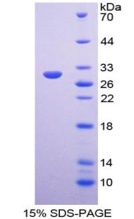 Recombinant Aminopeptidase B (RNPEP)