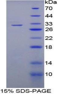 Recombinant Ataxin 2 Binding Protein 1 (A2BP1)