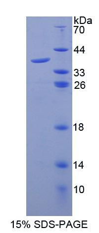 Recombinant Granulocyte Chemotactic Protein 2 (GCP2)