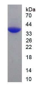 Recombinant Signal Transducing Adaptor Molecule 1 (STAM1)