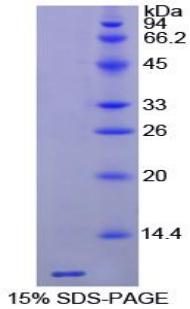 Recombinant Thymosin Beta 4 (TMSB4X)
