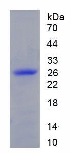 Recombinant Interleukin 10 Receptor Alpha (IL10Ra)