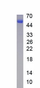 Recombinant Lymphocyte Activation Gene 3 (LAG3)