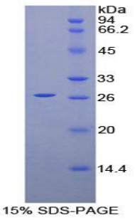 Recombinant Prion Protein (PRNP)