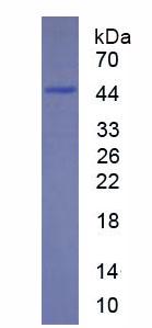 Recombinant Integrin Alpha M (CD11b)