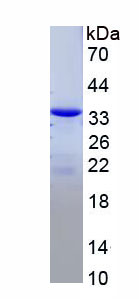 Recombinant Myeloid Differentiation Factor 88 (MyD88)