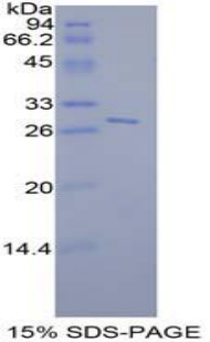 Recombinant Signal Transducer And Activator Of Transcription 6 (STAT6)
