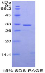 Recombinant Signal Transducer And Activator Of Transcription 1 (STAT1)