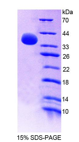 Recombinant Guanylate Binding Protein 4 (GBP4)