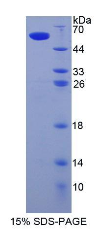Recombinant Sialic Acid Binding Ig Like Lectin 8 (SIGLEC8)