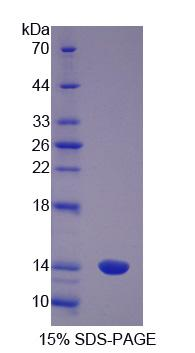 Recombinant S100 Calcium Binding Protein A8 (S100A8)