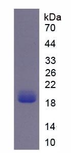 Recombinant Nicotinamide Adenine Dinucleotide Phosphate Oxidase 4 (NOX4)