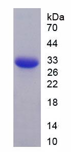 Recombinant Immunoglobulin D (IgD)