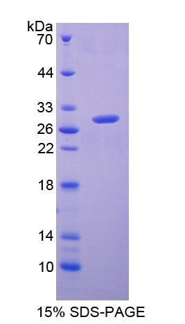 Recombinant Glutathione S Transferase Alpha 2 (GSTa2)