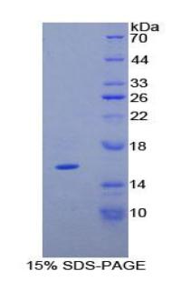 Recombinant Tenascin C (TNC)