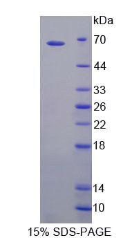 Recombinant Toll Like Receptor 5 (TLR5)