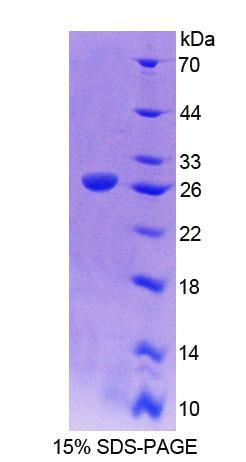 Recombinant Cadherin, Myotubule (CDH15)