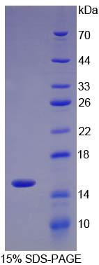 Recombinant Interleukin 34 (IL34)