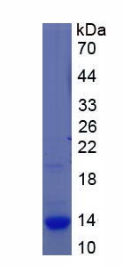 Recombinant S100 Calcium Binding Protein A3 (S100A3)