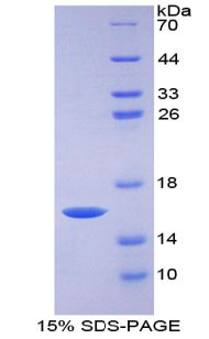 Recombinant Growth Differentiation Factor 15 (GDF15)