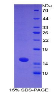 Recombinant S100 Calcium Binding Protein A7 (S100A7)