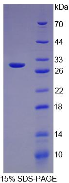 Recombinant Transferrin (TRF)