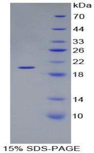 Recombinant Laminin Beta 3 (LAMb3)