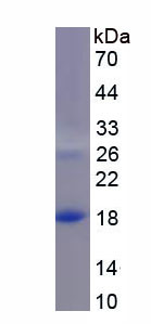 Recombinant Macrophage Inflammatory Protein 4 Alpha (MIP4a)